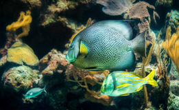 French Angelfish closeup. Closeup of beautiful French Angelfish in Caribbean sea royalty free stock image
