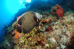 French Angelfish in coral reef Stock Photo
