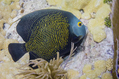 French Angelfish. In Florida Keys Barrier Reef royalty free stock photo