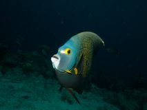 French Angelfish 03 Royalty Free Stock Photography