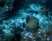 French Angelfish - Grand Cayman Royalty Free Stock Photo