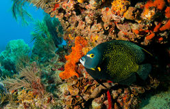 French angelfish on Molasses Reef Royalty Free Stock Images