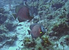 French Angelfish on Parade. A pair of French Angelfish swim the coral reef near Cayman Brac Royalty Free Stock Photography