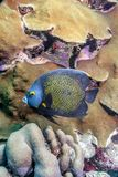 French angelfish,Pomacanthus par. U is a large angelfish of the family Pomacanthidae stock photo