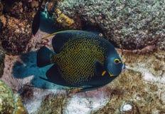 French angelfish, Pomacanthus paru,. Angle fish off coast of Bonaire stock photo