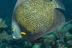French angelfish royalty free stock image
