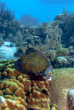 French angelfish, Pomacanthus paru stock image