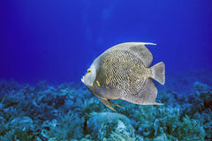 French angelfish. Pomacanthus paru, is a large angelfish of the family Pomacanthidae stock photography
