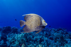 French angelfish, Pomacanthus paru Royalty Free Stock Image