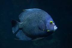 French angelfish Pomacanthus paru. Marine fish royalty free stock images