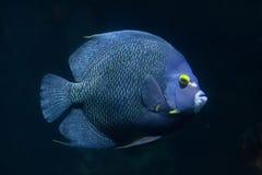 French angelfish Pomacanthus paru. stock photo