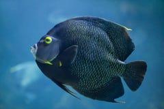 French angelfish Pomacanthus paru. stock photos