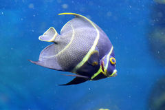 French angelfish Royalty Free Stock Photo