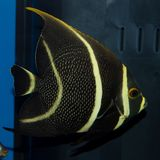 French Angelfish Pomacanthus paru stock photos