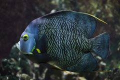 French angelfish Pomacanthus paru. Tropical fish royalty free stock image