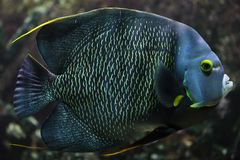 French angelfish Pomacanthus paru. Tropical fish royalty free stock photos