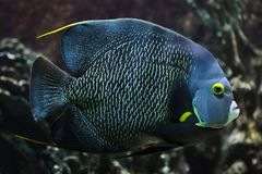 French angelfish Pomacanthus paru. Tropical fish stock photo