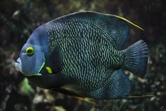 French angelfish Pomacanthus paru royalty free stock photos