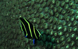French angelfish or Pomacanthus paru underwater in ocean Stock Photography