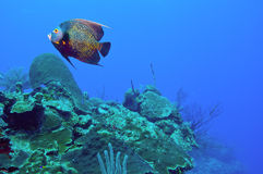 French angelfish and reef Royalty Free Stock Photos