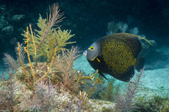 French Angelfish. At French Reef in the Florida Keys Barrier Reef royalty free stock images
