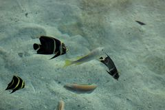 French angelfish in the sea stock photos