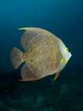 French Angelfish 03 Royalty Free Stock Images