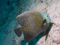 French Angelfish 01 Royalty Free Stock Image