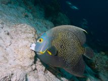 French Angelfish 04 Stock Image