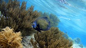 French Angelfish. A french angelfish between soft coral royalty free stock image
