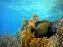 French Angelfish. A french angelfish between soft coral stock photo