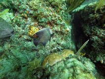 French angelfish swimming among coral. Off Pompano Beach, in Fort Lauderdale, Florida, USA stock images