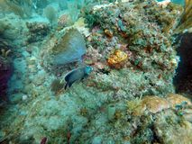 French angelfish swimming among coral. And sea fans off Pompano Beach, in Fort Lauderdale, Florida, USA stock photo