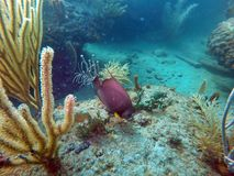 French angelfish swimming among coral. And sea fans off Pompano Beach, in Fort Lauderdale, Florida, USA royalty free stock photography