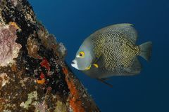 French Angelfish swimming next to a coral-encrusted dock piling. French Angelfish Pomacanthus paru swimming next to a coral-encrusted dock piling - Bonaire stock photography