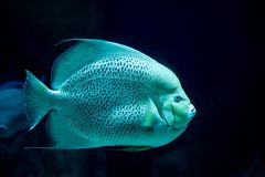 French angelfish swimming in the ocean royalty free stock image