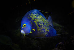 French angelfish. A french angelfish under the sea royalty free stock images