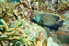 French Angle Fish Royalty Free Stock Images