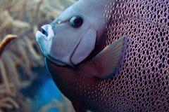 French Anglefish stock image