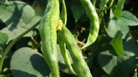 French beans. Plants Royalty Free Stock Photography