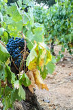 French black grapes. Close view of black grapes in a French vineyard stock image