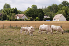 French blonde cows. French farmland with cows Stock Image