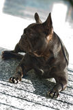 French Bouledogue. A french bouledogue looking and earing something away from him Stock Images