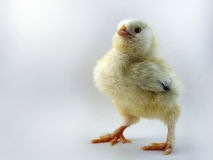 French breed chick called Salmon Faverolles Royalty Free Stock Image