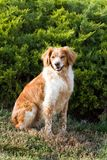 French Brittany Spaniel Royalty Free Stock Photography