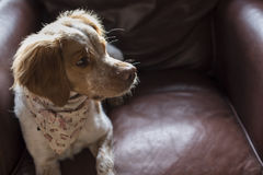 French Brittany Spaniel in Leather Chair Stock Photography