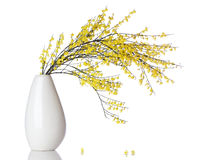 French Broom branch in vase isolated Royalty Free Stock Photos