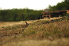 French Brown Hare royalty free stock photos