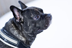 French buldog dog listening carefully any noise Royalty Free Stock Photo