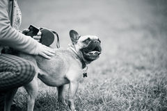 French buldog with owner Royalty Free Stock Image